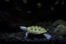 Diamondback Terrapin Turtle Di...