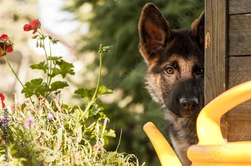 Fototapeta Portrait of a curious german sheperd puppy in a backyard obraz