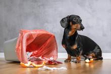 Cute Dachshund Dog, Black And ...
