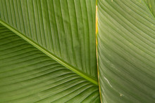 Banana Leaf Pattern And Texture
