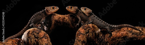 red eye crocodile skink on black background Canvas-taulu