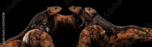 Fotografering red eye crocodile skink on black background