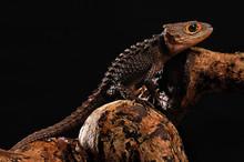 Red Eye Crocodile Skink On Bla...