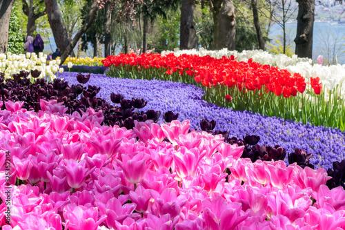 Fotografie, Obraz Bright colorful tulip flower beds in the spring tulip festival Emirgan Park, Ist