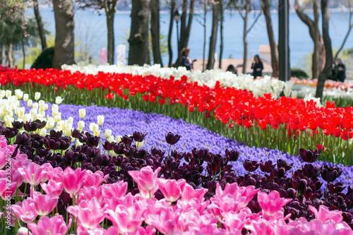 Fototapeta Bright colorful tulip flower beds in the tulip festival Emirgan Park, Istanbul,