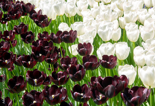 Obraz na plátně Colorful contrasting background of white and black tulips at the tulip festival