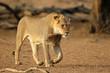 canvas print picture - Young male African lion (Panthera leo) walking, Kalahari desert, South Africa.