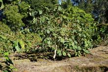Tamarillo-Früche In Einem Obs.