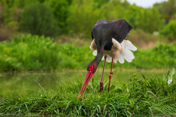 Black Stork - Ciconia nigra, beautiful iconic water bird from European fresh waters, Hortobagy, Hungary.
