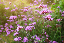 Blooming Violet Verbena Flower...