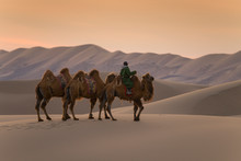Camels And Owner Are Walking O...