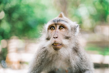 Portrait Of A Monkey On A Jung...