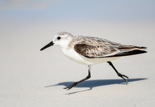 Sanderling Foraging On The Bea...