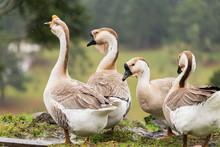 Flock Of Anser Cygnoides, Rare...