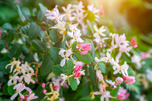 Bright White And Pink  Decorative Japanese Honeysuckle (Lonicera Caprifolium) Flowers Blossom In Spring In The Garden With Green Leaves Background.