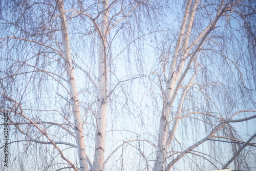 Birch tree with bare branches in blue sky.