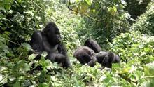 Young Mountain Gorilla Playing...