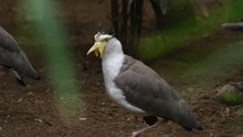 Masked Lapwing Bird In A Natur...