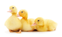 Three Yellow Ducklings.