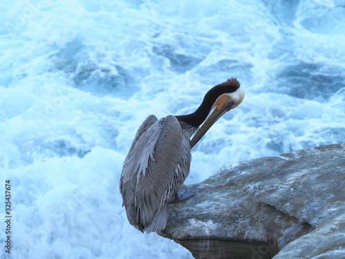 Obraz na plátně Californian Brown Pelican