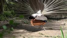 Indian Blue Peacock Turning Sh...