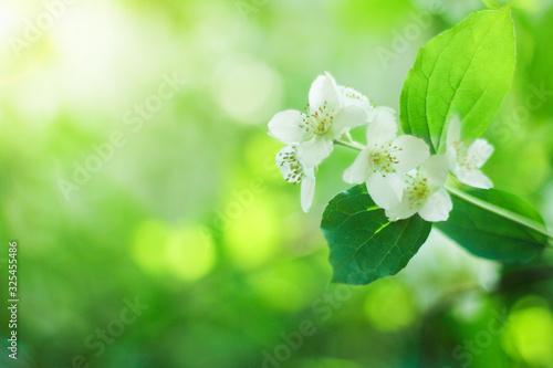 blooming jasmine bush Canvas Print