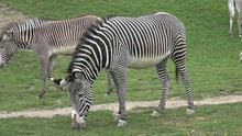 Grevy's Zebra Equus Grevyi Gra...