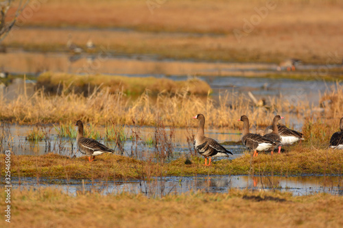 Photo Greater white-fronted goose - Anser albifrons on a meadow