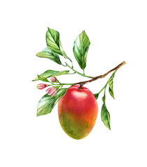 Fototapeta Do jadalni Watercolor Mango branch. Ripe mango fruit with flowers leaves. Realistic botanical floral composition. Isolated illustration on white. Hand drawn exotic food design element