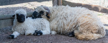 Sheep And Lamb Together In The Farm, Cute Animals