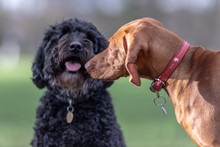 A Vizsla And A Cockapoo Saying...