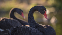 Two Black Swans In A London Park
