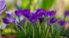 Violet Crocuses In Greenhouse....