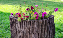 Bright Petunia Flowers On A Stump Of A Dried Tree, An Original Flowerbed In The Park
