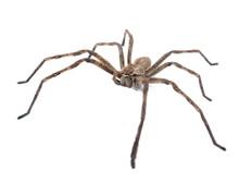 Rain Spider Caught In Sandton ...
