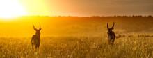 Waterbuck In Africa Golden Sunset Web Header