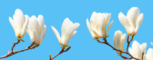 Branch Of White Magnolia With Blooming Flowers Isolated On Blue Background, Closeup