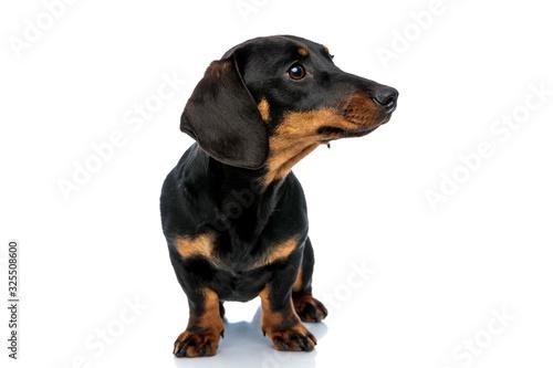 Vászonkép Curious Teckel puppy looking away and listening