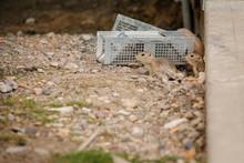 Gophers Peering Around Pest Co...