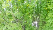 Acacia Yellow Shrub