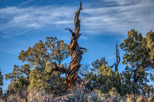 Central Oregon Juniper Tree