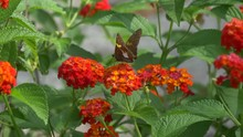 Silver Spotted Skipper Butterfly On A Lantana Flower 4K