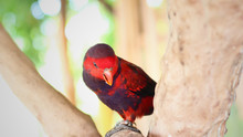 A Red Electus Parrot Sitting On A Tree Branch