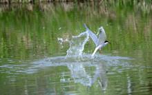 Common Tern Attacks Fish In A ...