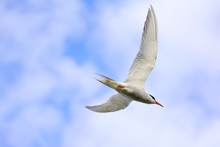 Common Tern In Flight Over A P...