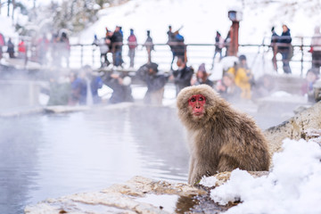 Snow monkeys at Jigokudani hotspring in nagano, Japan