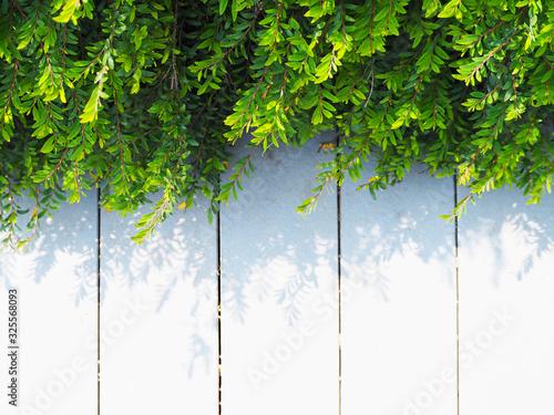 Fotografia Close up creeper plant green leaves on white vintage wood.