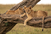 Two Lion Cubs Lying On The Branch Of A Fallen Tree. Image Taken In The Maasai Mara National Reserve, Kenya.