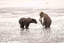 Two Grizzly Bear Cubs Playing ...