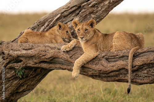 Fotografiet Two lion cubs lying on the branch of a fallen tree